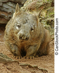 Wombat - A Wombat looking towards the camera.