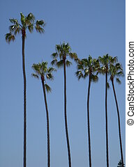 Line of palms - Palm trees in San Diego