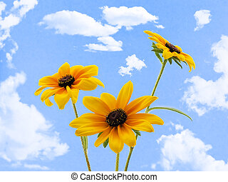 Black-eyed Susans - Three black-eyed susans with a cloudy...