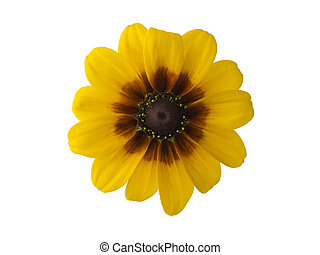 Black-eyed Susan - Black-eyed susan isolated on white