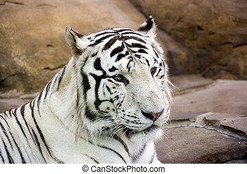 branca, tiger, verde, olhos