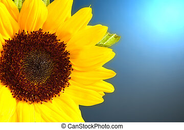 Flora - Beautiful sunflower with lighting background