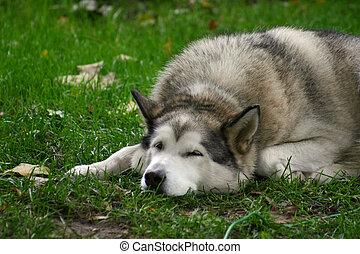 Sleepy Malamute - A Malamute sleeping in the grass