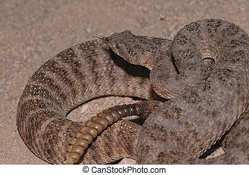 Tiger Rattlesnake - This image of a tiger rattlesnake shows...