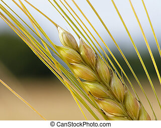Harvest - Close-up of wheat straws on a summer day in the...