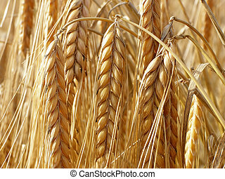 wheat straws - Close-up of wheat straws on a summer day in...