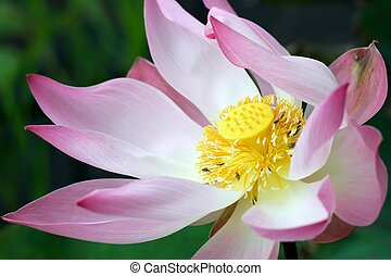 lotus flower closeup - close up of a wild lotus flower in a...
