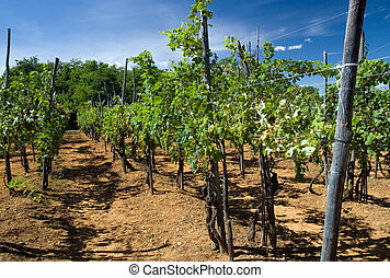 Vineyard in Italy - Environs of Biella in Piemont (Italy)...