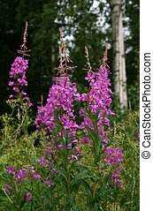 Fireweed - Rosebay willowherb in a forest