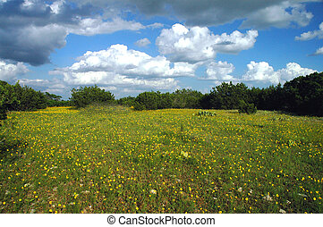 Texas Wildflowers - A meadow filled with small yellow...
