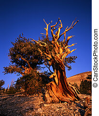MN0582BristleconePine1 - Bristlecone Pine trees located in...