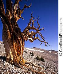 MN0583BristleconePineTree2 - A Bristlecone Pine tree located...
