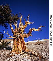 MN0585BristleconePineTree3 - A bristlecone pine tree located...