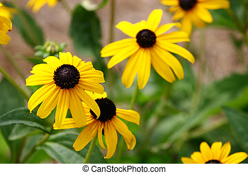 Brown Eyed Susans - Brown and Yellow daisies in a garden