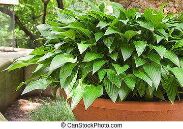 Hostas - Green and White Hostas Growing in Pots in the...