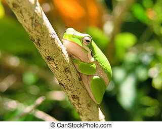 Little Green Frog - A baby green tree frog sitting on a tree...