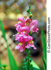 Flowering Snap Dragon infront of a lattice fence