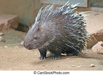 Porcupine - A Malayan Porcupine with its needle sharp spines