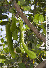 Carob pods - Green carob pods on the carob tree Ceratonia...