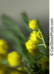 Mimosa flowers against green leaves