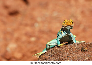 hey good looking - close up of painted collard lizard, very...
