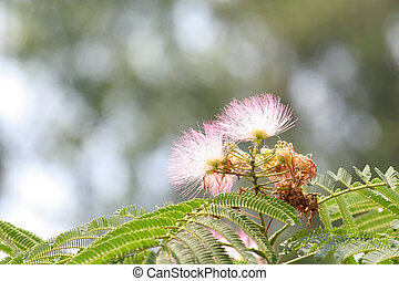 Mimosa Blossom - Feathery Pink blossom of a mimosa tree