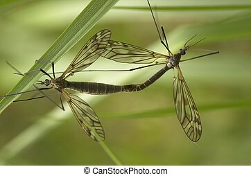 Mating Craneflies - Two mating craneflies with the focus on...