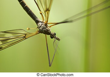 Cranefly (male) - A mosquito-like insect - cranefly. The...