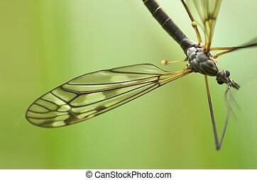 Cranefly (male) - A mosquito-like insect - cranefly. Focus...