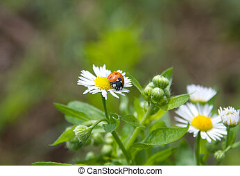 Ladybug on camomile flower after summer rain