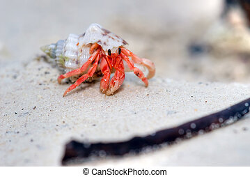 hermit crab - small red hermit carb, pagurus species, ko...