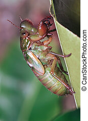 cicada larva - night shoot of a cicada larva climbed on a...