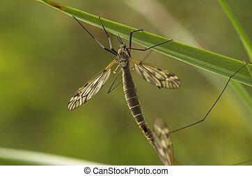 Mating Female Cranefly - A mating female cranefly on a grass...