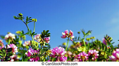 Summer meadow background with blooming pink flowers crown...