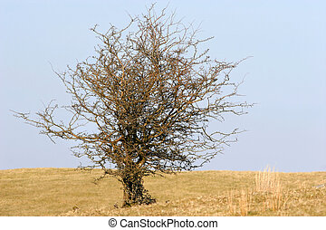 Wizened Tree in Winter - Old hawthorn tree devoid of leaves...