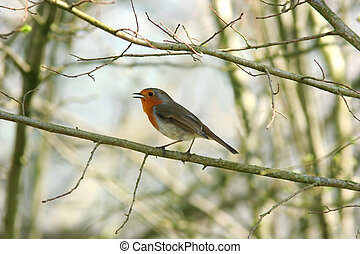 Robin Redbreast - Robin standing on a small branch of a tree...