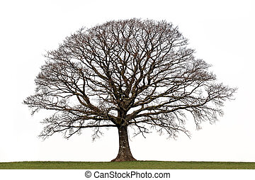 Winter Oak - Oak tree in a field in winter devoid of leaves...