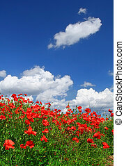red poppies - field of red poppies with cumulus clouds,...