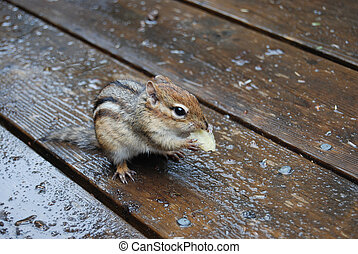 Bet You Cant Eat JustOne - chipmunksquirrel eat a potatoe...