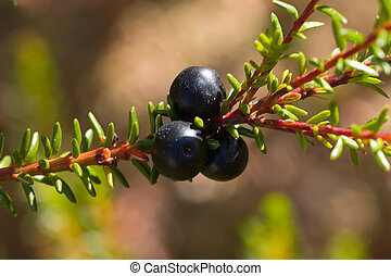 Crowberry close up - a marsh berry