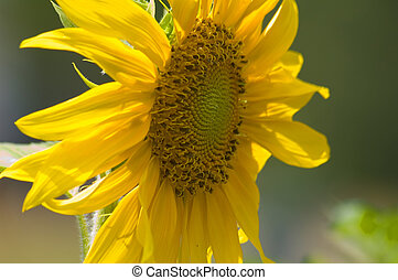 Sunflower - This a sunflower grown in my garden in rual west...