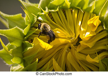 girassol, &, abelha
