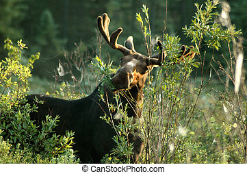Munching Moose - Young bull moose dines on spring...