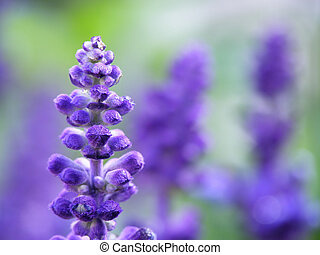 lavender flower - Close-up of lavender flower on a summer...