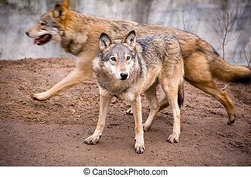 Statics and dynamics - Two active wolves in a zoo in the...