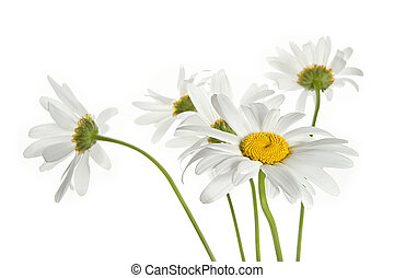 Daisy flowers - Bouquet of daisy flowers isolated on white...