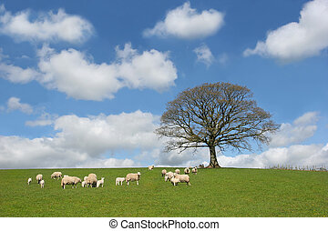 The Oak In Spring - Oak tree in spring, with sheep and lambs...