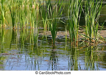 reed (2) - Green summer reeds on water of a marsh