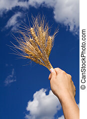 Holding wheat against blue sky - Woman hand holding wheat...