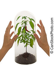 Protected plant species under a glass bell with woman hands...